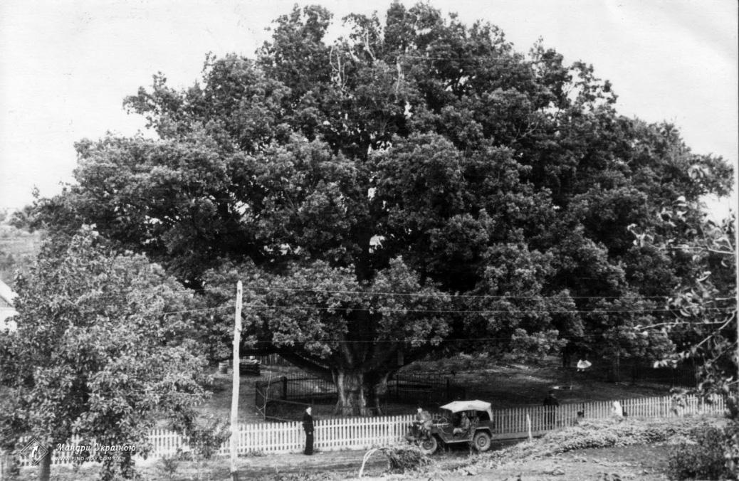 700 years Zaporozhye oak