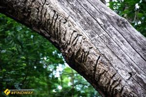 Oak of Maxim Zaliznyak, Buda